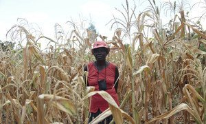 The World Food Programme says that more than one-third of the rural population in Zimbabwe will be food insecure by October 2019.