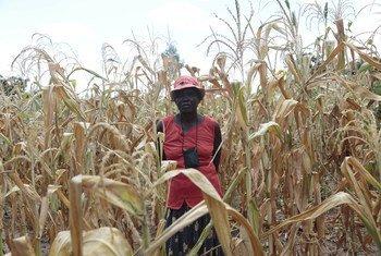 Selon le PAM, plus de la moitié de la population du Zimbabwe est en situation d'insécurité alimentaire en 2020.