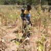 La sécheresse au Zimbabwe empêche les agriculteurs de produire assez de nourriture.