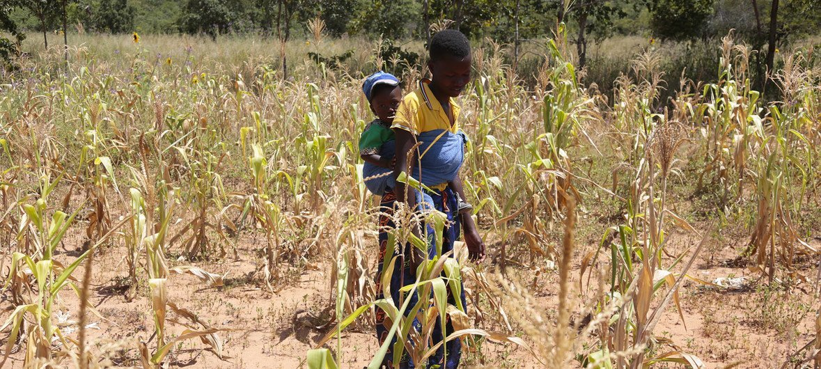 Drought conditions in Zimbabwe have meant that farmers have not been able to grow enough food.