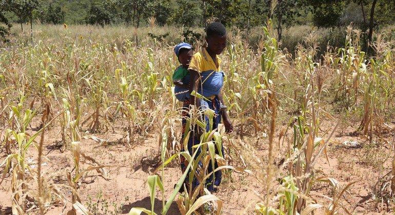 La sequía en  Zimbabwe afecta a los agricultores. La cosecha no crece.