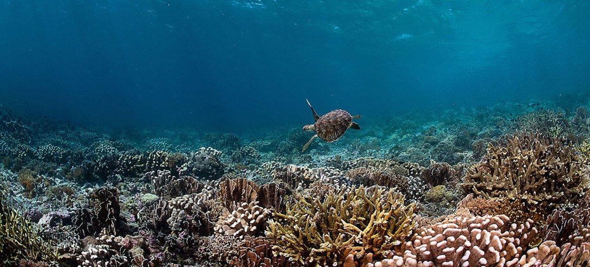 Una tortuga marina en Raja Ampat, Indonesia.