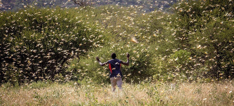 Les essaims de criquets pèlerins au Kenya ont la capacité de détruire les cultures et donc les moyens de subsistance des familles d'agriculteurs.