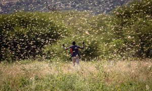 Locust swarms in Kenya have the ability to destroy the crops and thus livelihoods of farming families.