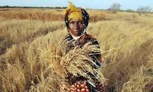 Una campesina de Gambia muestra cómo su cosecha de arroz dañada por la falta de agua.