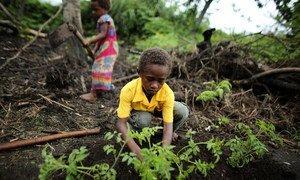 Des communautés agricoles au Vanuatu s'adaptent au changement climatique.