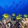 Des poissons de récifs coralliens nagent en Polynésie française, dans l'océan Pacifique.