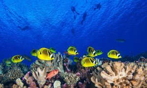 Coral reef fish swim in French Polynesia in the Pacific Ocean.