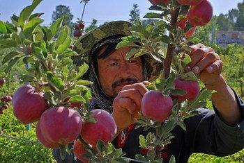 A farmer harvests apples in Afghanistan.