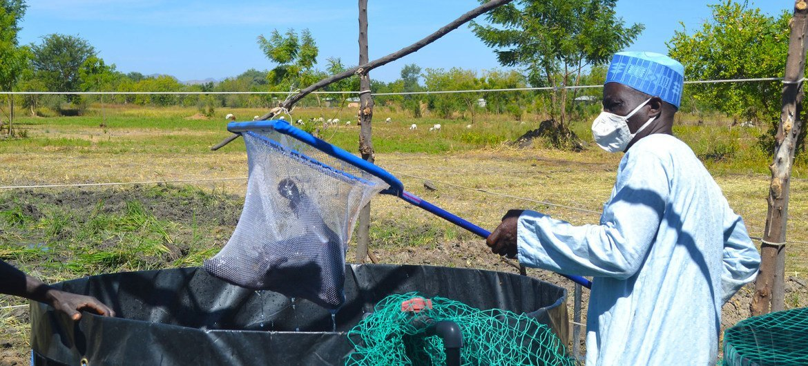 FAO has provided aquaculture training to displaced men and women so they can breed fish for their own consumption and for sale.