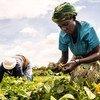 Des femmes récoltent des haricots verts dans une ferme à Taveta, au Kenya.