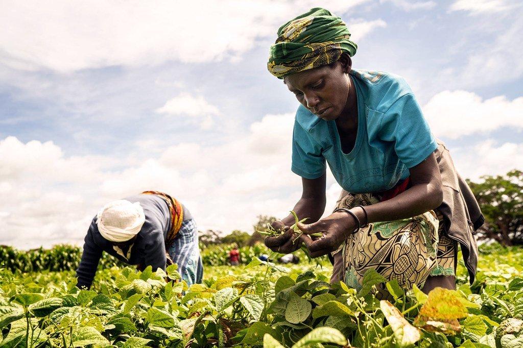 Women harvest French beans on a farm in Taveta, Kenya.
