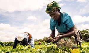 Mulheres cultivam em Taveta, no Quênia. Pesquisa destaca necessidade de continuar investindo na construção de sistemas sustentáveis