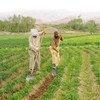 Produtores plantam batatas no Afeganistão.
