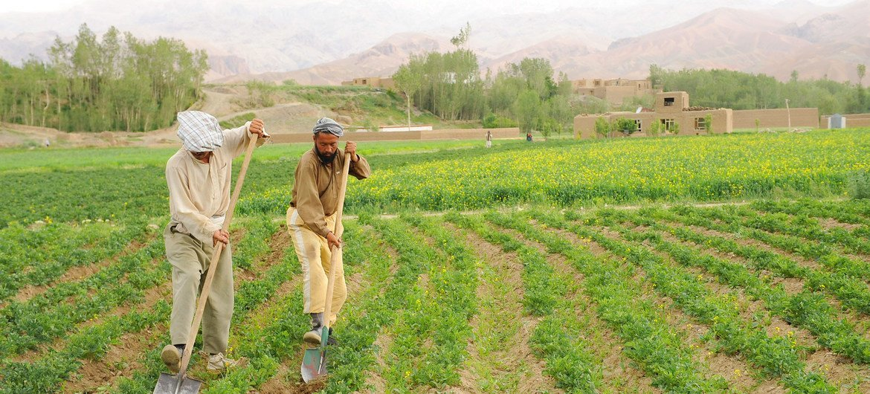 مزارعون يزرعون البطاطس في باميان بأفغانستان. بدون دعم عاجل، قد يفقد المزارعون والرعاة سبل عيشهم ويجبرون على مغادرة المناطق الريفية