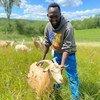 एक पूर्व शरणार्थी और अब सोमाली बन्तू समुदाय के एक किसान सदस्य, बकरी चराते हुए.