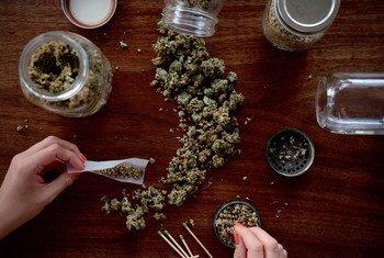 Производители нелегальной марихуаны постоянно совершенствуют качество своей продукции в сторону усиления наркотического эффекта.