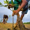 Mangrove seedlings are planted in an estuary in Bali to help fight erosion.