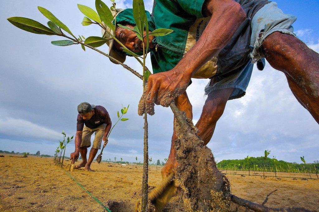 Antes de plantar un nuevo manglar, hay que saber las causas que llevaron a su desaparición o si se puede recuperar por sí solo.