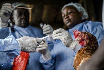 肯尼亚的研究人员正在从一只鸡身上取样本,以进行细菌抗药性分析和研究。