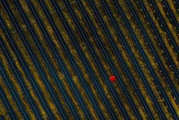 फ्राँस में एक सोलर पैनल फार्म के बीच से एक व्यक्ति लाल छाता लेकर जा रहा है.