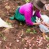 A farmer harvests potatoes in Manchaybamba, Peru.