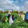 In southern Mauritania, a market garden run by a women's cooperative uses solar energy to irrigate crops.
