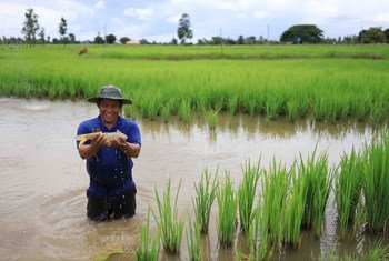 Farmers in Lao  are going back to an ancient, time-tested practice of cultivating fish alongside rice.