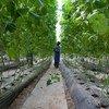 В ООН призывают создавать более эффективные и экологичные системы выращивания сельскохозяйственных культур. На фото - оранжерея в Бамако, Мали