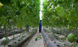 Frutas y verduras cultivadas en un invernadero a las afueras de Bamako, la capital de Mali.