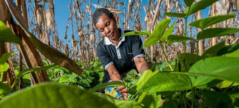 Agricultores na Tanzânia trabalham com uma variedade de feijão que pode ajudar a melhorar os meios de subsistência;