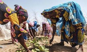 塞内加尔的女性正在一处菜园内劳动。
