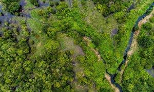 像印度尼西亚加里曼丹中部这样的泥炭地森林可以储存有害的二氧化碳气体。