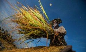 Un agriculteur récolte du riz à Bantaeng, en Indonésie.