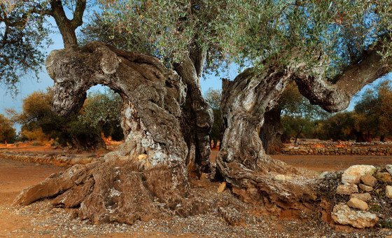 Territorio Sénia in Spain has the highest concentration of ancient olive trees in the world.