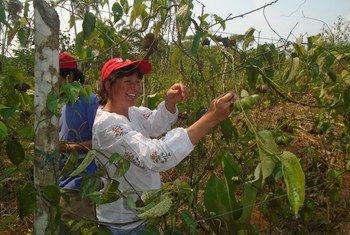 """El sacha nichi es una """"súper semilla"""" que busca cultivar la paz en Colombia. Su aceite previene enfermedades cardiovasculares y ayuda a eliminar el colesterol, los triglicéridos y las grasas acumuladas en el organismo. Además, ayuda a la conexión de las neuronas y tiene un alto contenido de proteína. Al mismo, tiempo es una alternativa al cultivo de la coca, ayudando a prevenir el narcotráfico, por lo que cuenta con el apoyo de la ONU."""