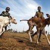 Kuoi Malak et sa sœur, jeunes gardiens de bétail, emmènent leurs veaux vers un champ à Yirol, au Soudan du Sud.