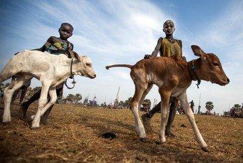 O jovem criador de gado Kuoi Malak e sua irmã guiam seus bezerros em um acampamento de gado em Lulwuot, Yirol, Sudão do Sul