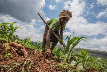 A woman in Eastern Rwanda tends to crops in a field in where the UN agriculture agency, World Food Programme (WFP), is assisting small-scale farmers.
