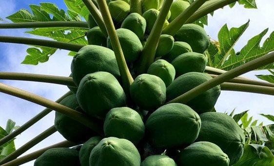 Papayas grow in abundance in Hawaii's tropical climate.