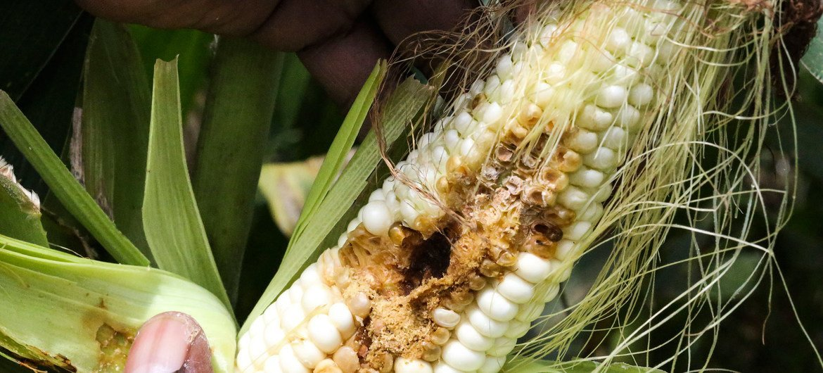 A maize crop is attacked by the fall armyworm in Goromonzi, Zimbabwe.