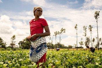 Une femme récolte des haricots dans une ferme coopérative au Kenya.