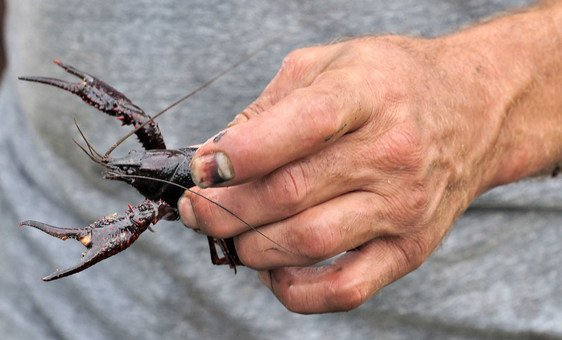 Crawfish, are small freshwater crustaceans which resemble lobsters.