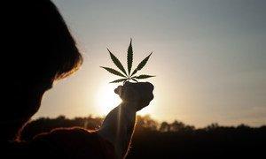 克罗地亚皮托马查的一片工业大麻田。