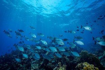 A school of fish in Quintana Roo, on the Yucatán Peninsula's Caribbean coast of  Mexico.