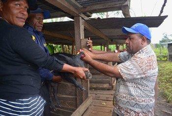 在巴布亚新几内亚的吉瓦卡省,当地农民正在学习如何将区块链用于猪身上。(2019年3月图片)