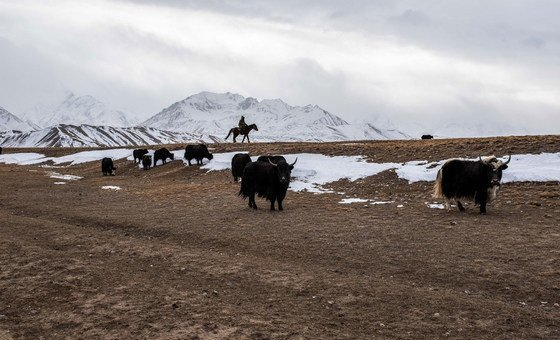 In Sary-Mogol in Kyrgyzstan, breeding animals, like yaks, is one of the few traditional ways to make a living.