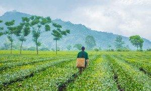 Un producteur de thé se promène dans une plantation au Vietnam où des techniques agricoles durables sont utilisées pour prévenir la dégradation des terres.
