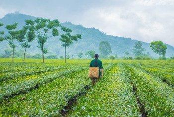 本届东亚峰会东道国越南安沛省的一名茶农。