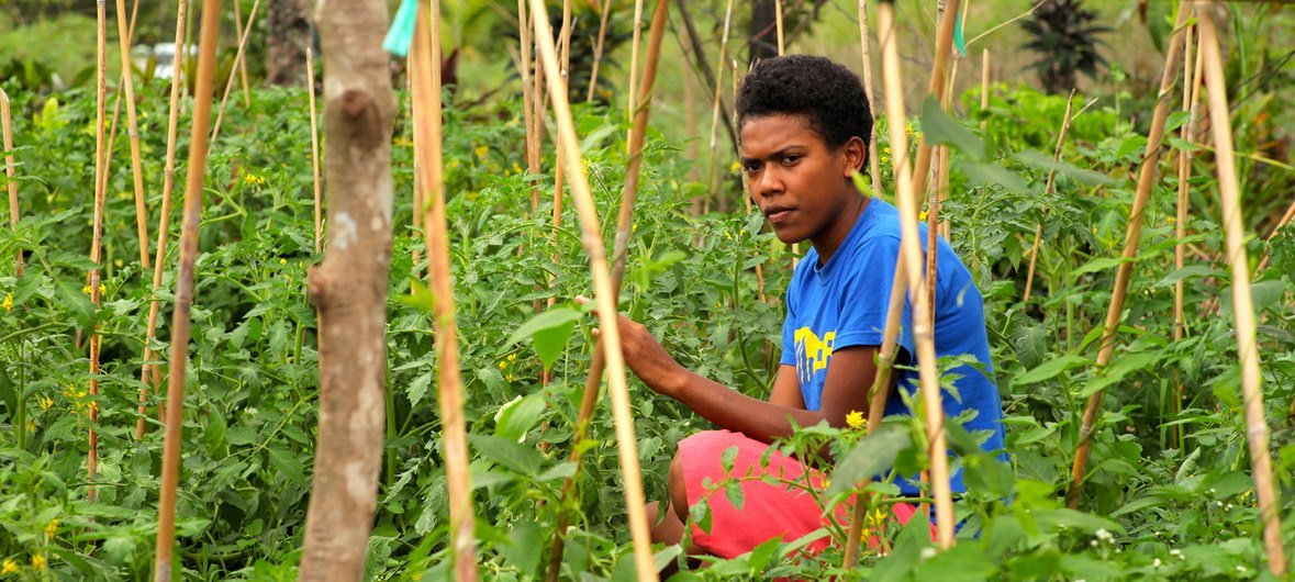 Farmers in Fiji are expected to benefit from UN support to counter the effects of climate change. (file)